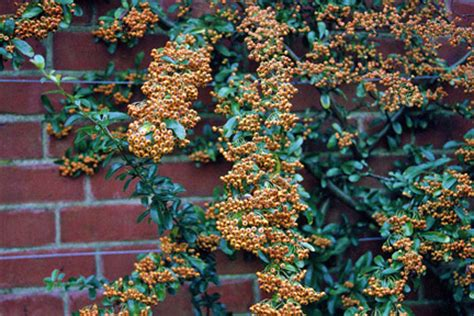 Climbing Plants For Partial Shade - pyracantha rhs gardening