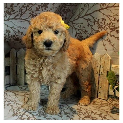 f1b more golden retriever 1000 images about poodle cross on poodles labradoodles and puppys