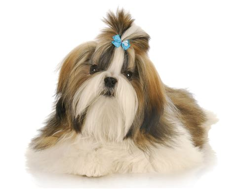 shih tzu bow beautiful shih tzu with blue bow