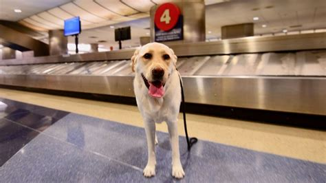 puppies fort lauderdale reunited with family after airport escape fox news