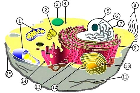 cell structure and processes worksheet animal and plant cell labeling