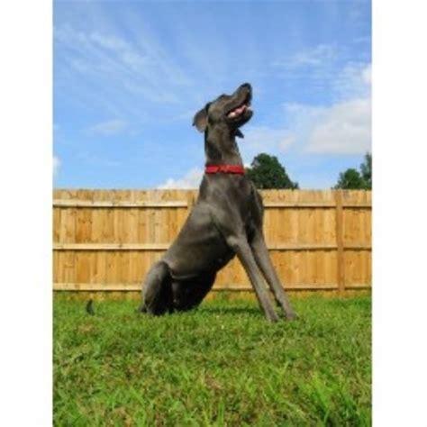 beagle puppies for sale in nc greensboro shiloh kennels great dane breeder in greensboro carolina