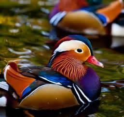 colorful ducks file mandarin ducklings in bushy park dublin jpg