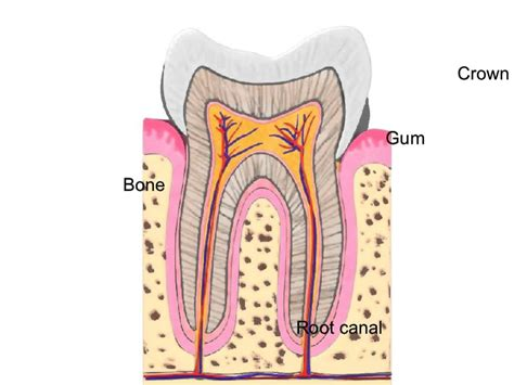 The Tooth demonstrating the structure of the tooth