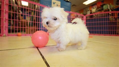 teacup maltese puppies for sale in ga adorable teacup maltese puppies for sale in at puppies for sale local breeders