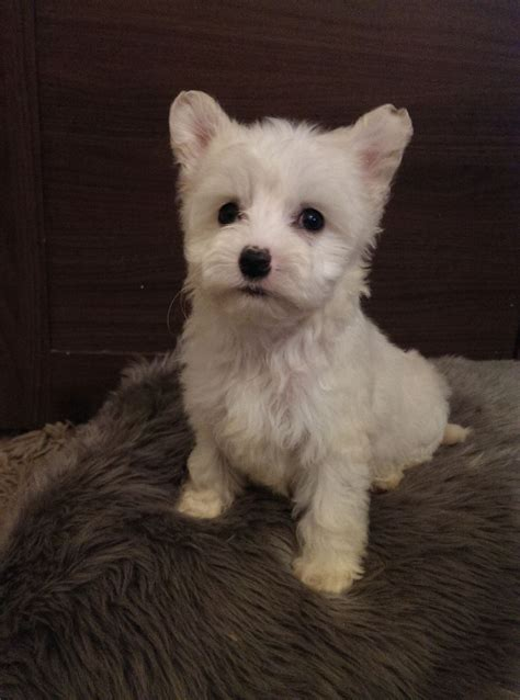 crested powder puff puppies beautiful crested powder puff puppies aylesbury buckinghamshire pets4homes