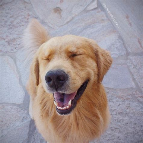 smiling golden retriever 45 most beautiful golden retriever photos golfian