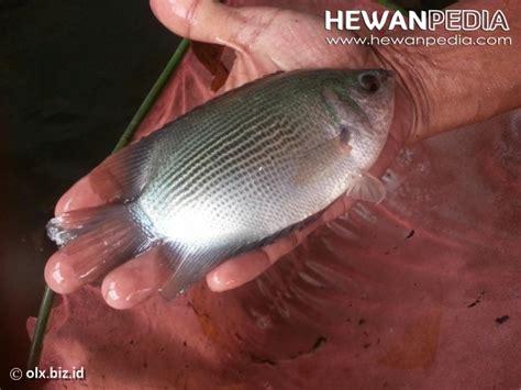 Timbangan Untuk Ikan umpan pancing untuk ikan tembakang hewanpedia