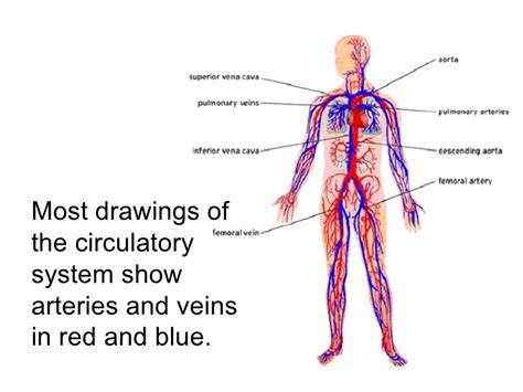what color are arteries circulatory system