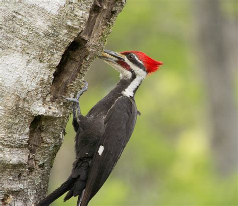 why do woodpeckers peck ornithology