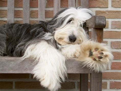 bearded collie puppies bearded collie breed guide learn about the bearded collie