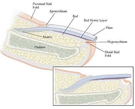 what is a nail bed diseases of the nail part 1