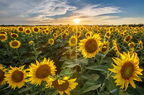 sunflower fields you need to see the magical sunflower field hiding in missouri