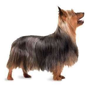 silky terrier puppies for sale silky terrier puppies for sale by expert breeders pets4you