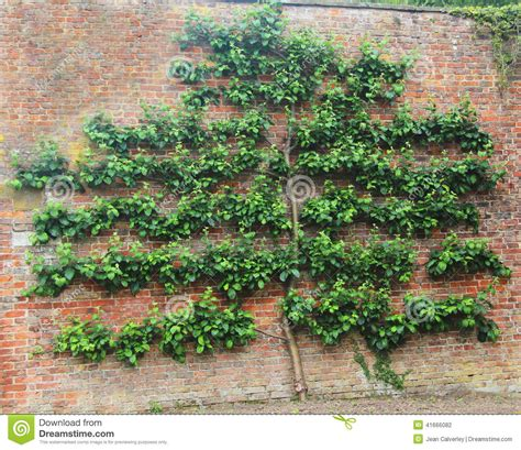 espalier tree on old brick wall stock photo image 41666082