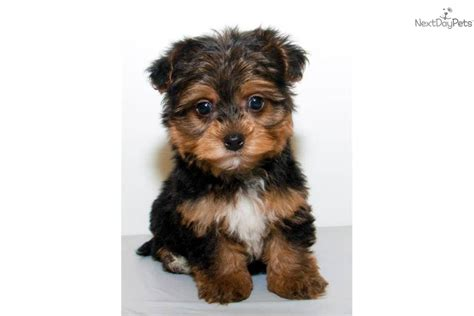 a yorkie poo yorkiepoo yorkie poo puppy for sale near columbus ohio 247abd39 2701