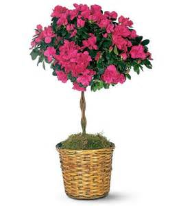 Topiary Ficus - plants amp flowers 187 rhododendron simsii