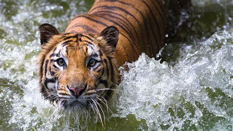 imagenes navideñas las mejores las mejores fotos de tigres haciendofotos com