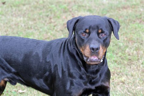 southern rottweiler rescue southern states rescued rottweilers