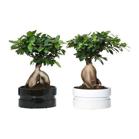 Ginseng Lokal ficus microcarpa ginseng potteplante med potte ikea