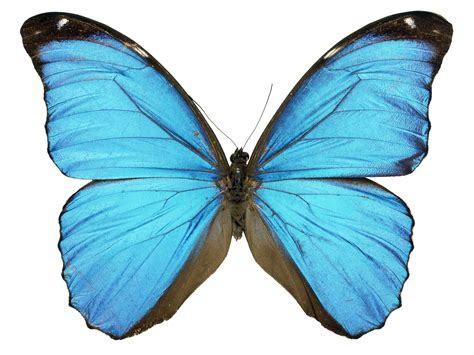 scientist grows butterfly wing in laboratory