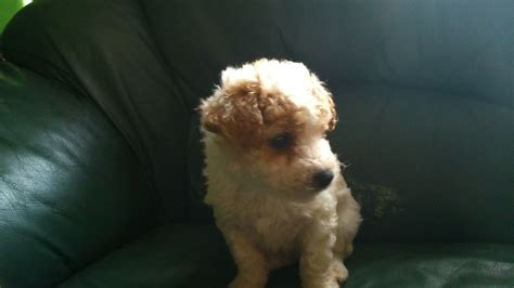 yochon puppies for sale yo chon puppies for sale manchester greater manchester pets4homes