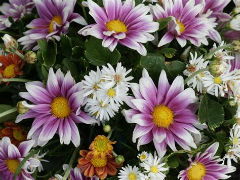 daisy flower flower wallpaper free daisy flower wallpaper