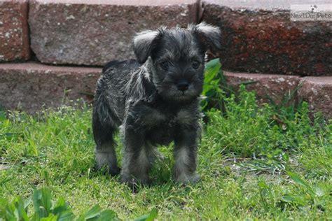miniature schnauzer puppies for sale in missouri schnauzer miniature puppy for sale near joplin missouri 0f749870 bf41