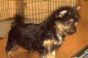 silky terrier puppies for sale australian silky terrier breeders links and breed information on pups4sale au