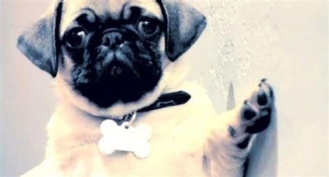 pug wrecking wrecking pug is pretty goddamn adorable breakingnews ie