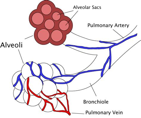 diagram of bronchioles bronchiole