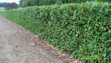 prunus laurocerasus rotundifolia hedge 5 screening trees from practicality brown
