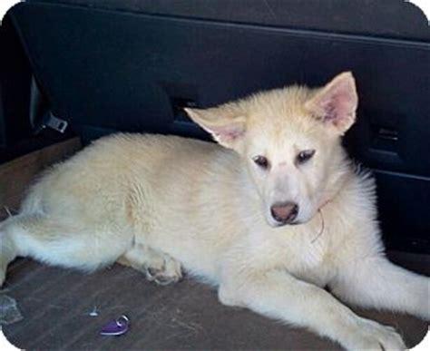 siberian husky golden retriever puppies for sale babycakes adopted puppy apple valley ca golden