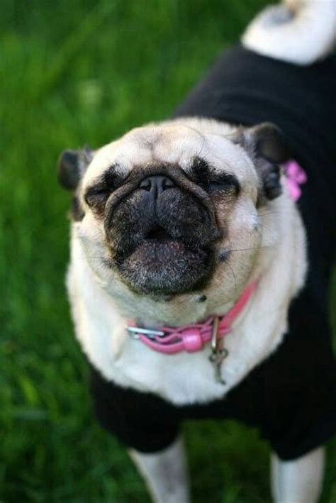 pug cannon 5096 best images about pugs on pug meme pug and pug