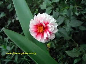 Red andwhite dahlia | File#100: Large image 800×600 pixels (142KB) 1 800 Flowers.com
