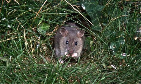 rat proof garden    rid  rodents  garden
