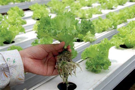 cara membuat green house hidroponik teknik terbaru hidroponik tanpa greenhouse skala