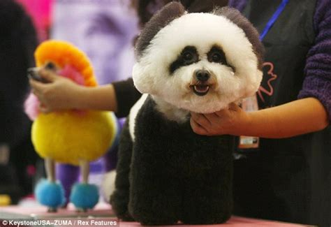 dogs that look like pandas why do i panda to my owner glum looking is groomed to look like a at