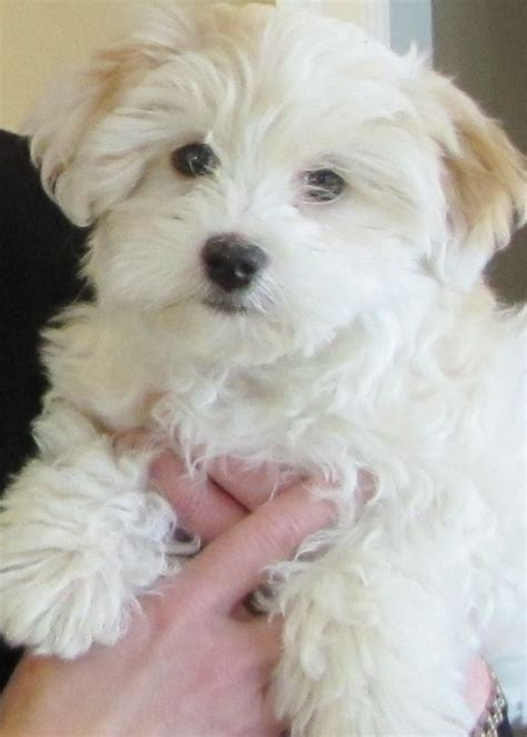 havapoo puppy havapoo havanese x poodle mix info temperament puppies pictures
