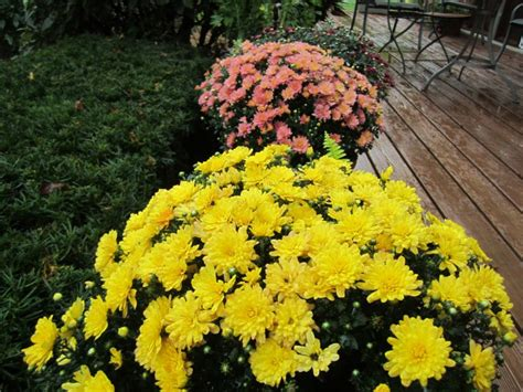 can fall mums survive frost can mums survive 28 images how to grow mums from seed simple and easy gardening and