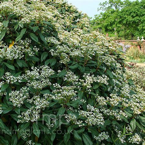 plant pictures viburnum x globosum jermyns globe