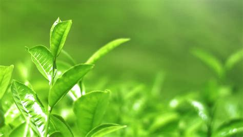 shiny young green tea leaves stock footage video