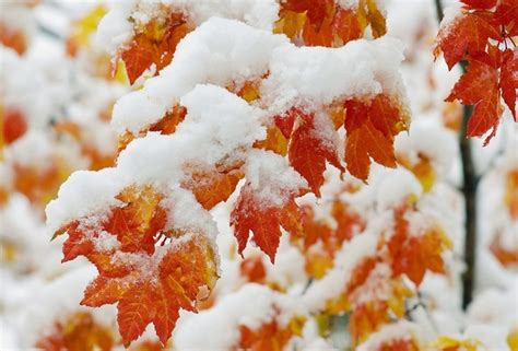 wallpaper daun maple wallpaper snow leaf autumn winter maple desktop