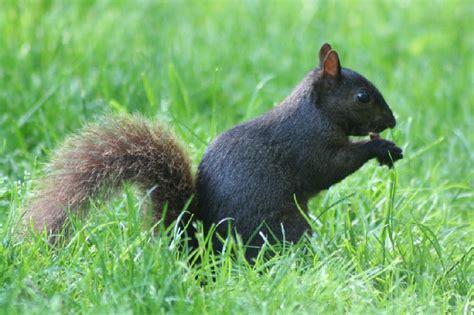 Wild Maryland 101 Maryland Weird And Wonderful Black Squirrel