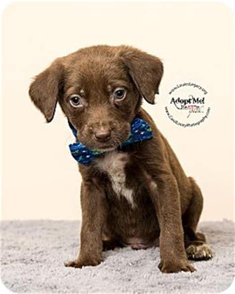 lab puppies cincinnati cincinnati oh labrador retriever mix meet celery a puppy for adoption