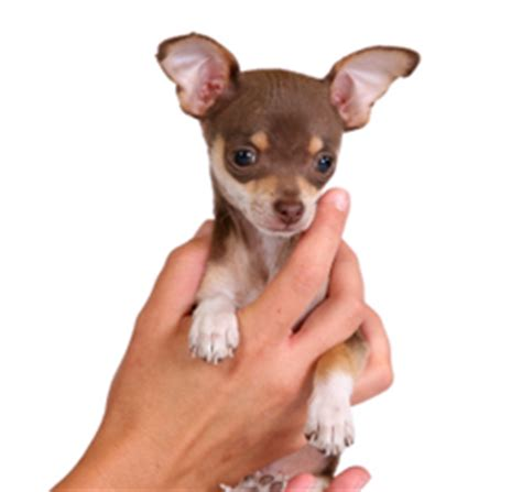how to house train a chihuahua girlshopes