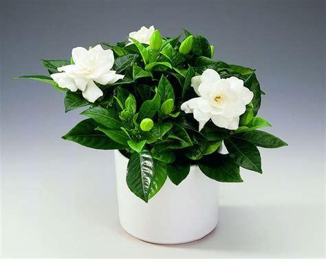 Gardenia In 238 Ngrijim Gardenia O Plantă Frumoasă și Delicată