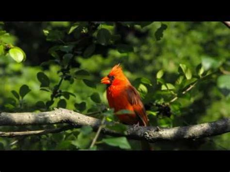 389 cardinal bird singing sound effects youtube