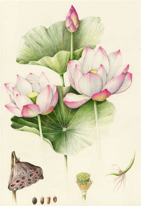 botanical drawing in color 0823007065 quot sacred lotus quot by wendy hollender colored pencil botanicals lotus colored
