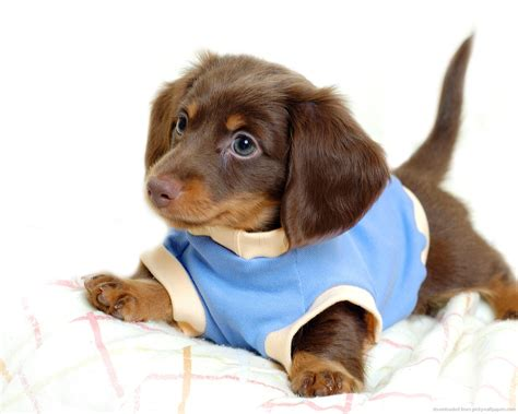 puppy care dachshund puppy care freevalscribes